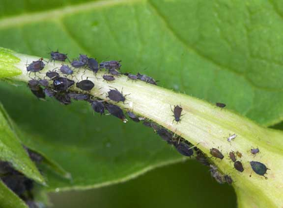 Dispersi n de insectos clave para controlar plagas for Insectos del jardin