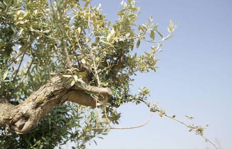 Novedoso estudio para aplacar las plagas en los olivos aragoneses
