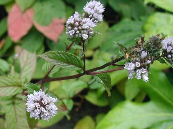 Plantas protectoras que repelen plagas e insectos naturalmente