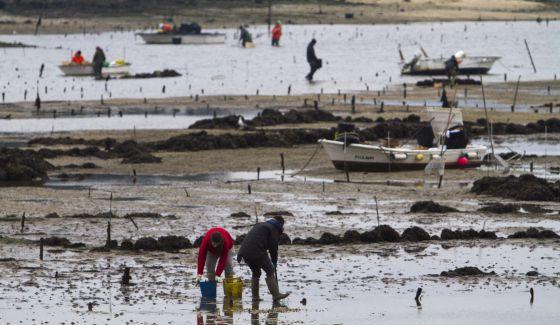 El parásito que mata el berberecho llega a la rías de Vigo y Pontevedra