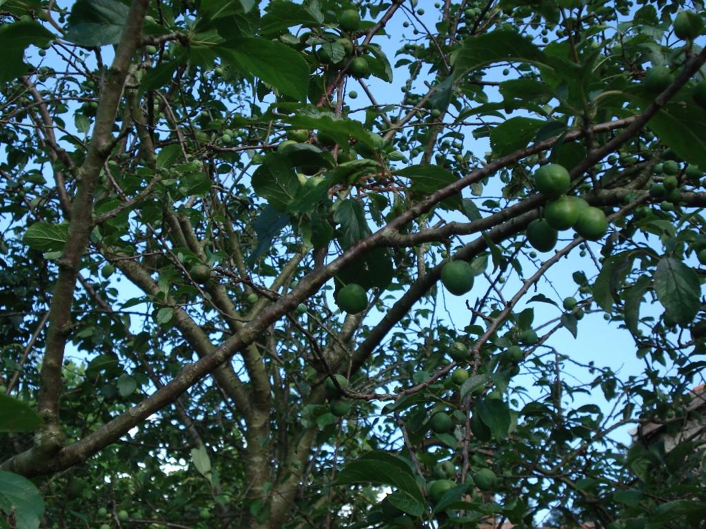 Se alertará a los agricultores sobre el riesgo de plagas en perales y manzanos
