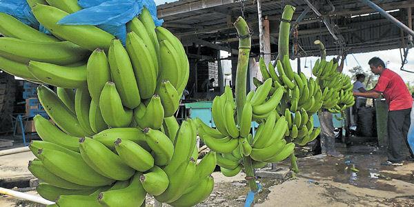 El ICA alertó por plaga agresiva del banano y plátano.