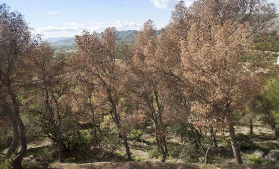 La plaga de insectos perforadores en pinos se extiende a 119 municipios