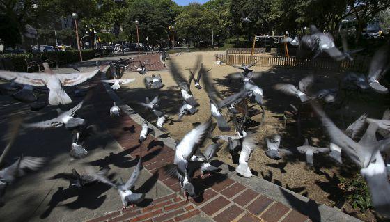Badia del Vallès usa anticonceptivos para reducir el número de palomas.