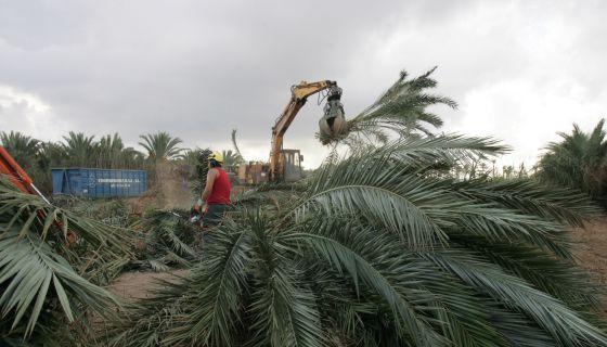El picudo devora las palmeras de Elche.