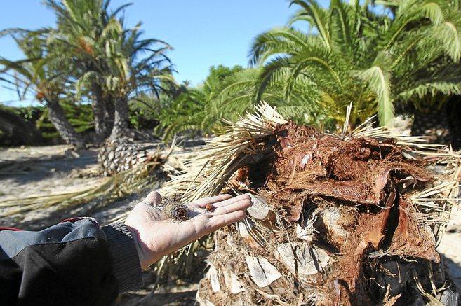 Málaga, acorazada contra el devastador ataque a las palmeras del picudo rojo