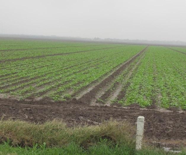 Benefician lluvias … temen a plagas