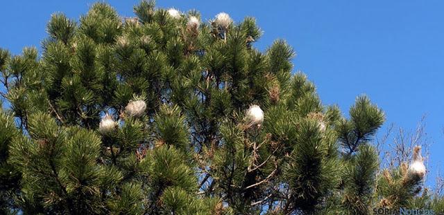Las brigadas tratan 2.600 pinos para frenar la plaga de procesionaria en los jardines