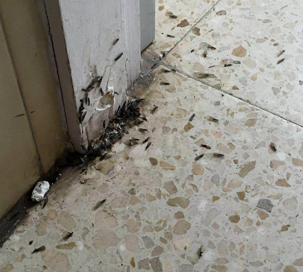 Una plaga de termitas en el colegio obligó a mover una clase en Ribadavia