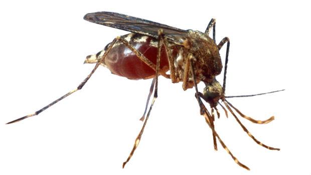 El mosquito tigre desata una «batalla» política en Málaga