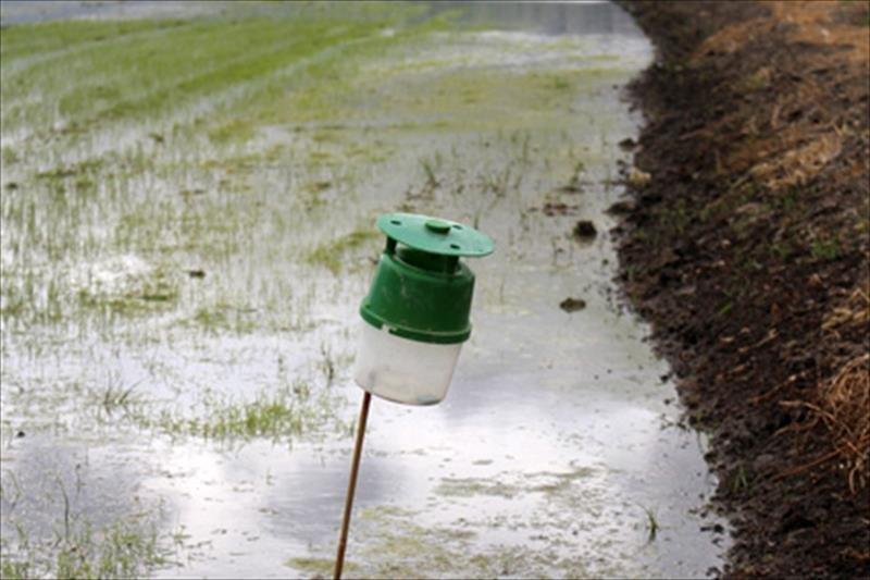 """Investigadores idean nuevo sistema contra la plaga del """"cucat"""" en arrozales"""