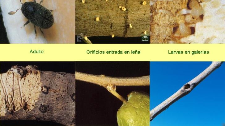 Andalucía autoriza de forma provisional el Deltametrin 2,5% contra el barrenillo del olivo