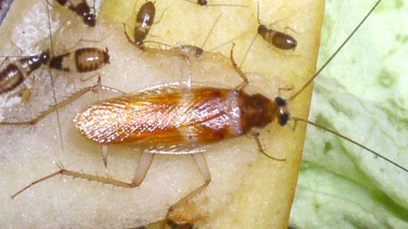 Esta es la nueva cucaracha que quiere invadir Málaga