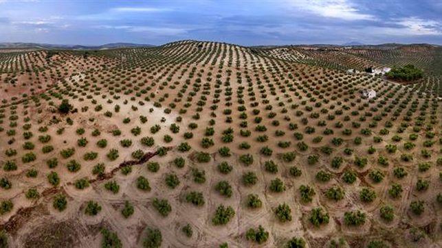Los cuatro jinetes de la plaga del olivo vistos desde Andalucía