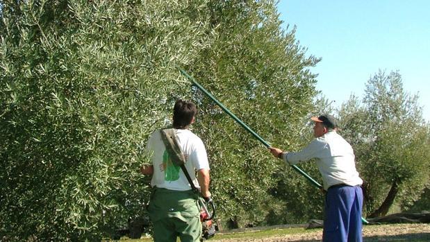 Inteligencia artificial contra plagas del del olivar