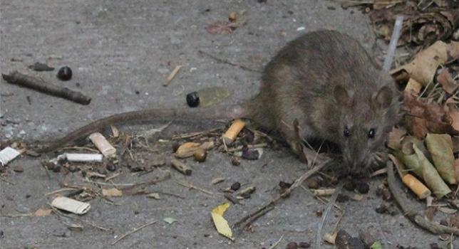 Ciudadanos alerta de las plagas de ratas
