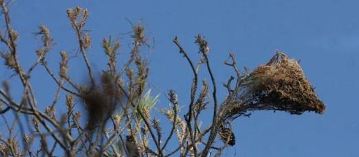 Los pinos de Málaga serán fumigados para evitar plagas de procesionarias