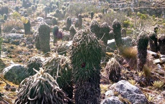 Plagas están acabando frailejones de los páramos colombianos