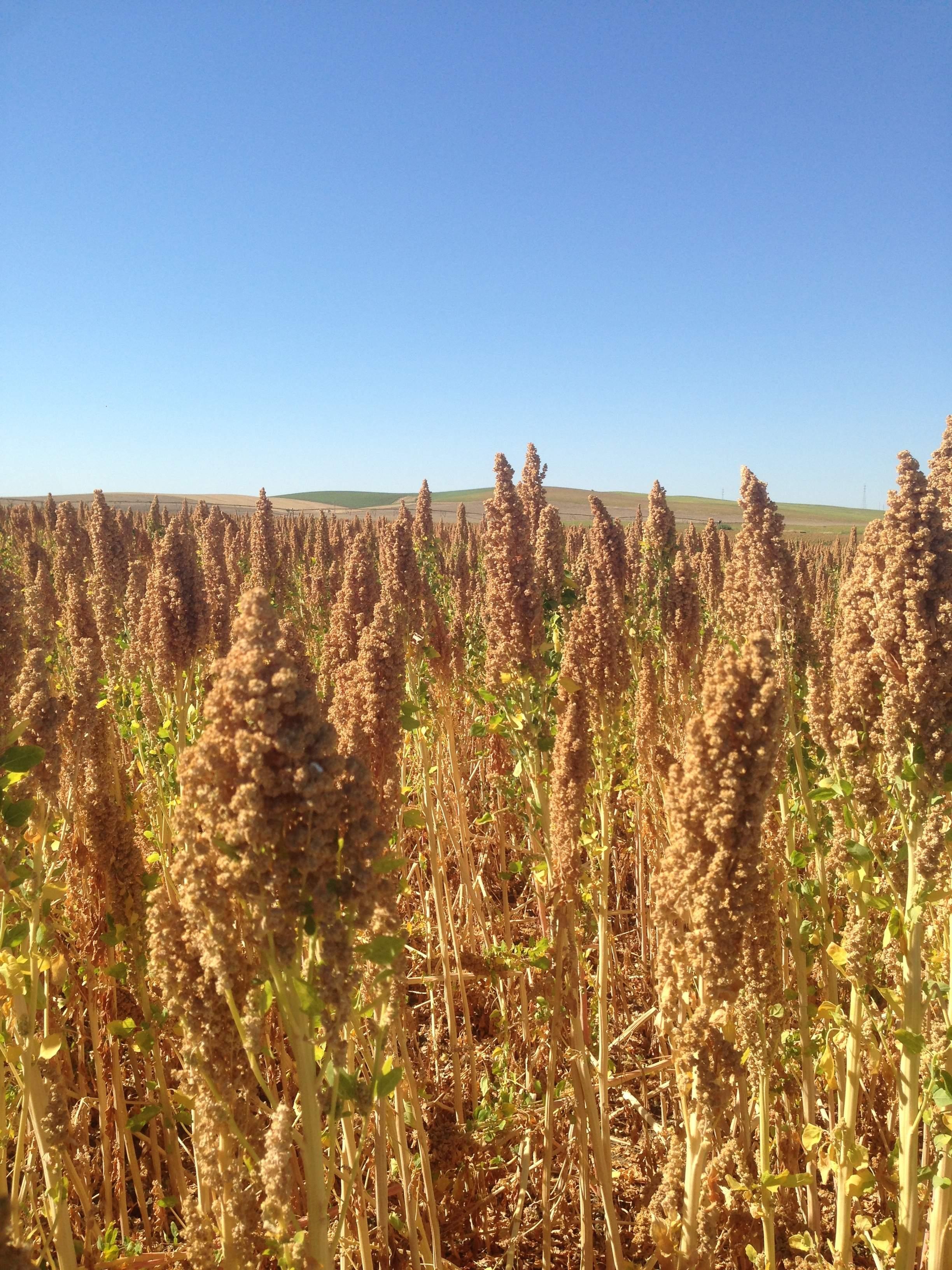 Andalucía aspira a convertirse en la despensa de quinoa de toda Europa