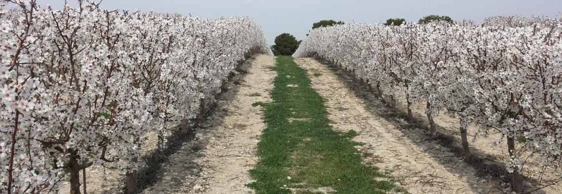 La Junta pone en marcha un proyecto de agricultura inteligente en parcelas de olivar y almendro
