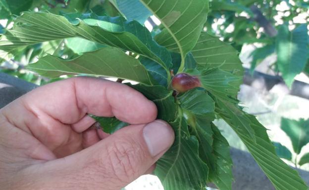 La temida plaga de la avispilla del castaño da el salto al parque natural Tejeda-Almijara