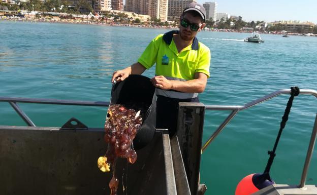 Las medusas vuelven a poner en alerta a los bañistas del litoral occidental de Málaga