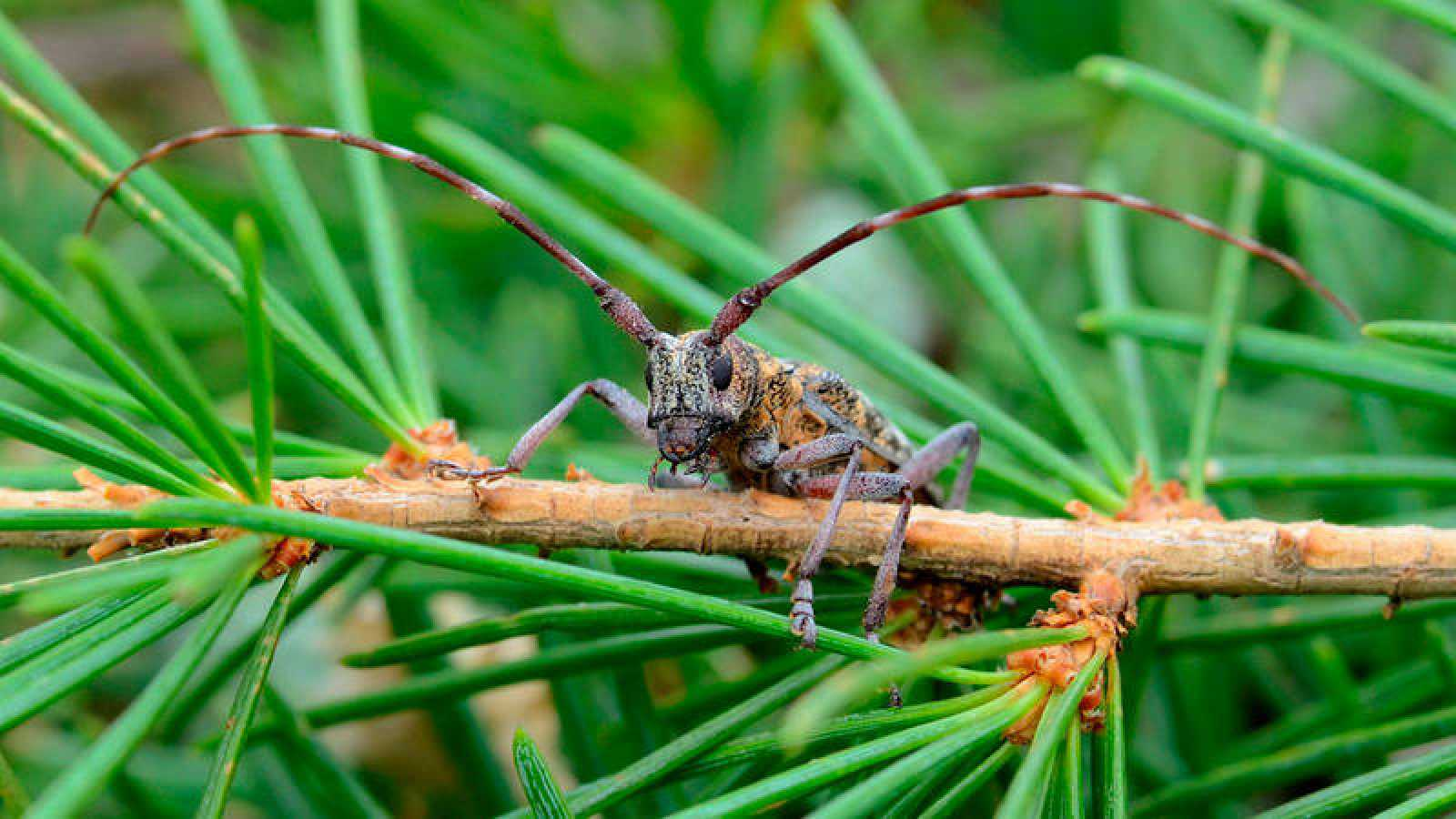 Los bosques de coníferas en España, amenazados por una plaga capaz de matar los árboles en un solo mes